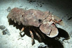 Mediterranean Slipper Lobster
