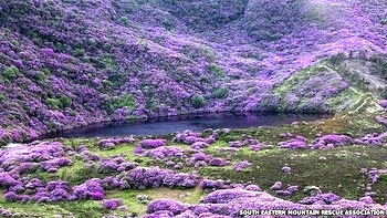 This thick rhododendron forest is on steep ground overlooking Bay Lough in the Knockmealdowns Mountains in Ireland.