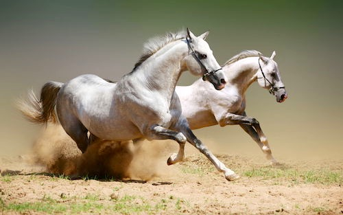 Andalusian race horses