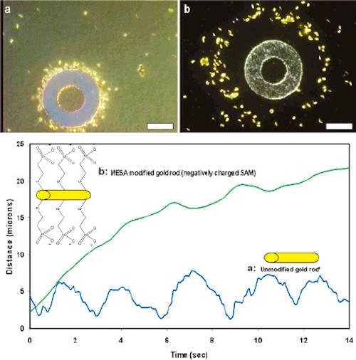 Movement of treated and untreated gold particles around silver annulus on the gold surface