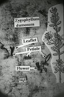 Zygophyllum