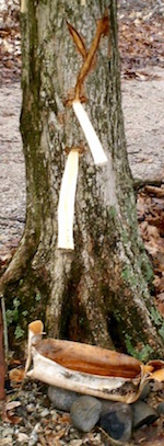 Indian method of slashing trees to get maple sap